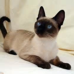 seal point cat seal point traditional siamese wow such bright blue