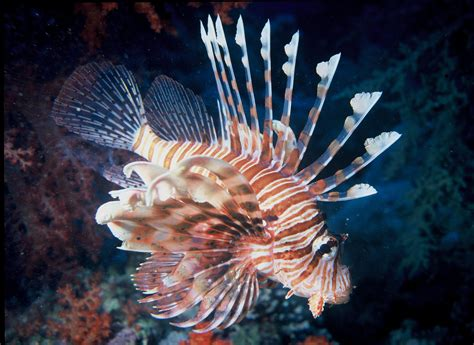 lionfish fish species grouper predators areas challenge wikipedia preys cent facing stalked devoured per while local
