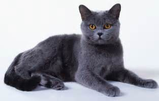 chartreux cat cat breeds the chartreux cat characteristics and