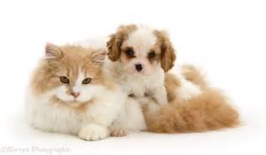 cat puppy pets cavalier puppy and cat photo wp17854