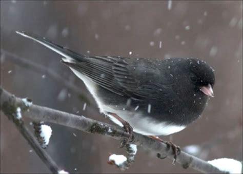 facts  birds  winter  backyard naturalist
