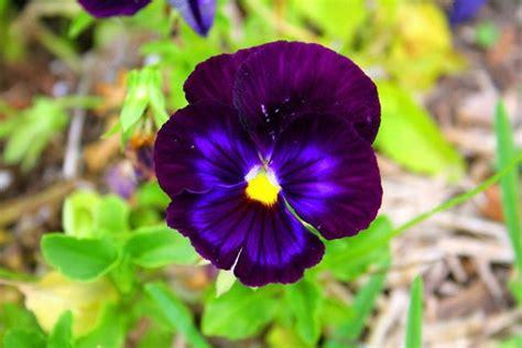 fiore viola viola fiore piante annuali conoscere la viola