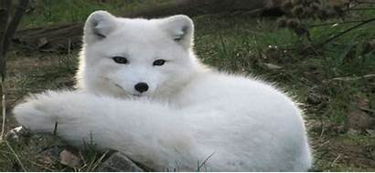 Arctic Foxes Wolf Blow Away Photographs Mind