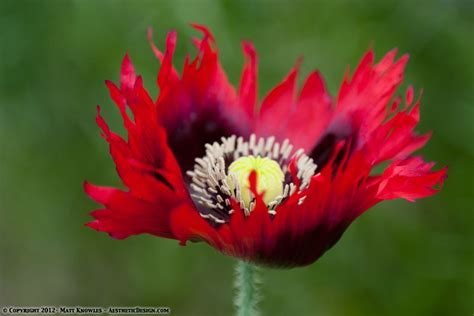 poppy varieties pictures poppies knowlesville