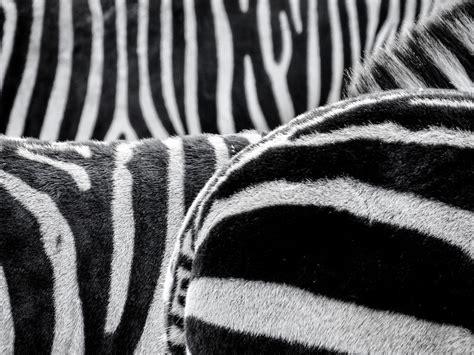 black  white zebra patternt  stock photo