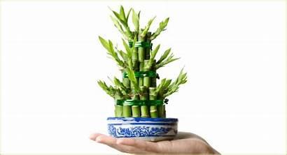 Lucky Bambou Plante Bonheur Porte Bamboo Indoor