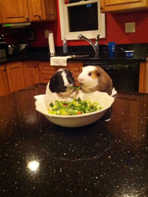 adorable pictures   guinea pig  human