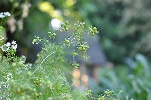 How to Harvest Coriander Seeds from Cilantro Plants ...