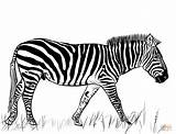 Zebra Coloring Pages Printable Drawing Dot Colorings sketch template