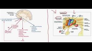 Pathogenesis Of Fever