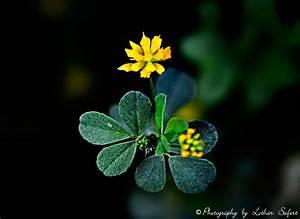 Gelber Klee Im Rasen : gelber klee es gibt 245 kleearten viele arten von klee sind wichtige futterpflanzen bilder ~ Markanthonyermac.com Haus und Dekorationen
