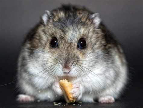 types of hamsters 5 types of most popular hamster breeds