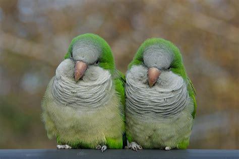 quaker color pair of quaker parrots flickr photo