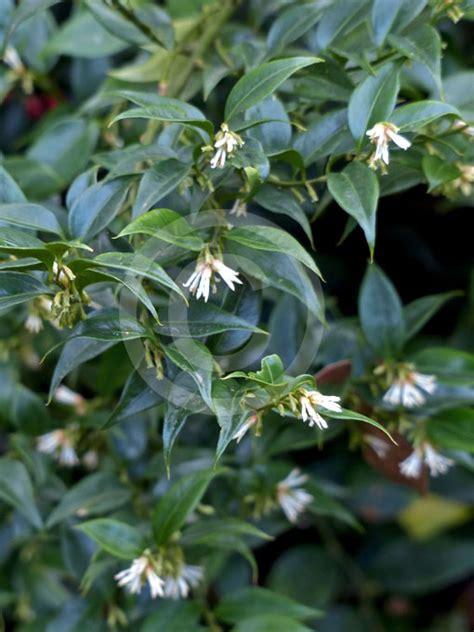 sarcococca ruscifolia fragrant sweet box information