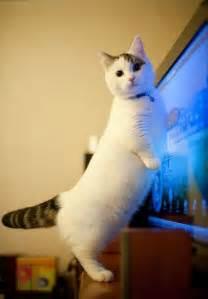 the munchkin cat munchkin cat