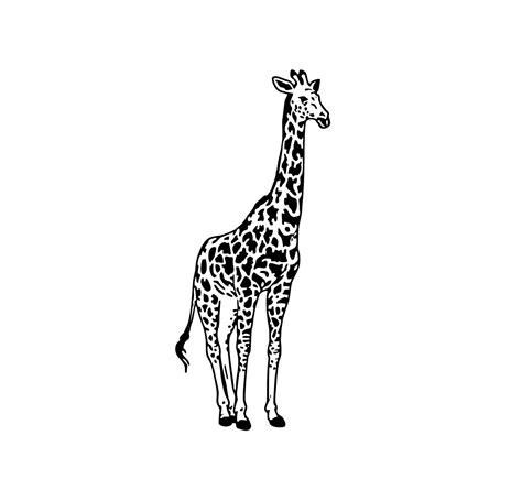 Are you searching for giraffe clipart png images or vector? Giraffe graphics design SVG, DXF, EPS, Png, by ...