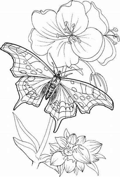 Coloring Adults Pages Printable Butterfly Plants Adult