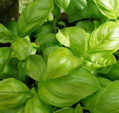 Garten Pflanzen Essbar by Diese Essbare Pflanzen K 246 Nnen Mehrfach Erneut Wachsen