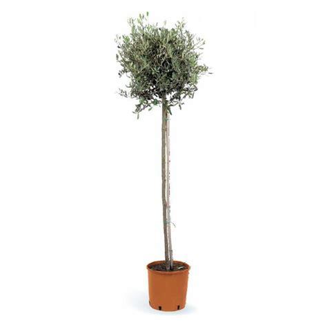 comment entretenir un olivier en pot olivier botanic