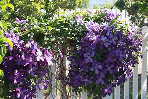 Time of Our Lives: Blooming Clematis Vines