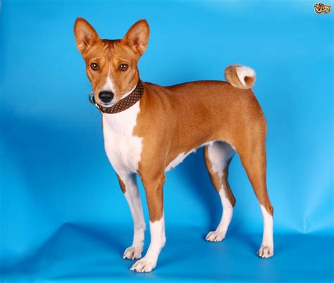 dog breeds that don t shed dog breeds puppies
