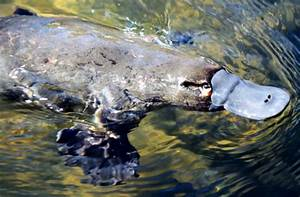 Australia: Giant platypus and 'lost Eden' discovered ...