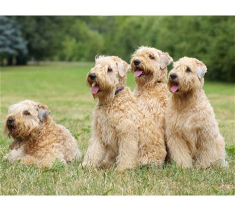 Why Is My Wheaten Terrier Shedding by 83 Best Images About Soft Coated Wheaten Terrier On