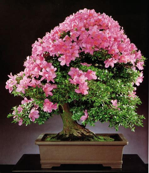 hollow creek bonsai satsuki azalea