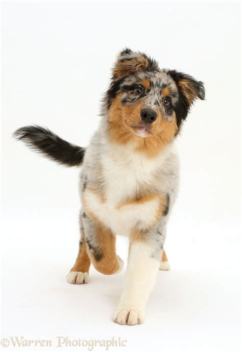 Dog Australian Shepherd Pup Walking P O Wp
