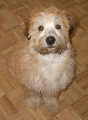 do wheaten terrier puppies shed 72 best images about soft coated wheaton terrier on