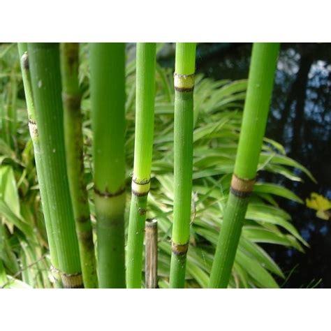 equisetum japonicum grand pot afloredeau plantes ko 239 s japon et mat 233 riel de bassins