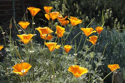 ca plants california native plant week lost in the landscape