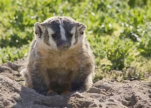 Ask The Naturalist: Do Badgers Hibernate?