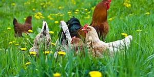 Pastured Chickens | Swiss Villa Eggs