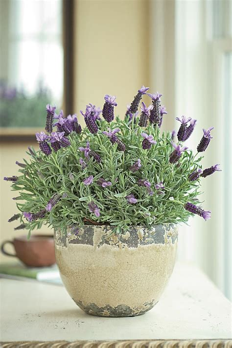 lavender potted plants how to care for potted lavender flower pressflower press