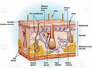 The Structure Of Human Skin Cells Stock Illustration