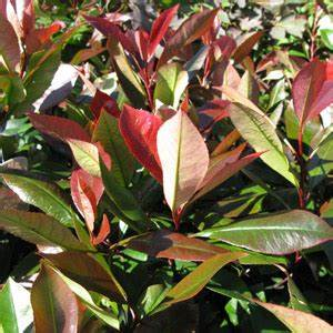 Photinia Fraseri Robusta Compacta : cheap photinia fraseri little red robin hedging buy photinia hedging ~ Buech-reservation.com Haus und Dekorationen