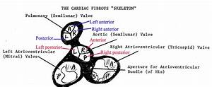 Heart Functional Anatomy At University Of Medicine And