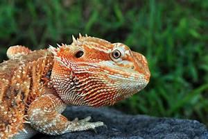 Bearded Dragon Morphs – Bec's Bearded Dragons