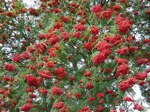 Baum Mit Roten Beeren : rote beeren am baum ~ Markanthonyermac.com Haus und Dekorationen