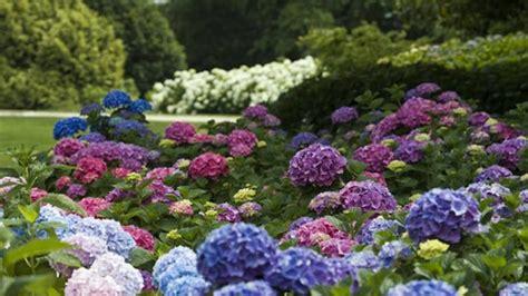 hortensien wann pflanzen hortensien schneiden auf die kommt es an
