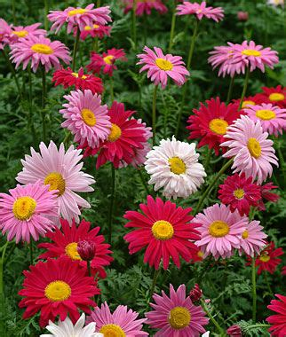 Mixed Colors Painted Daisy Seeds and Plants, Gardening at ...