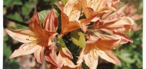 Rododendrs vasarzaļais Japānas/ oranžs /Rhododendron ...