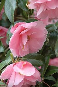 Pointy Light Donation Camellia Camellia X Williamsii 39 Donation 39 In