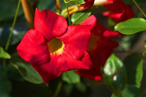 Balkonpflanzen Winterhart Sonnig by Balkonpflanzen Pflegeleicht Winterhart Balkonpflanzen