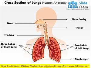 Cross Section Of Lungs Human Anatomy Medical Images For