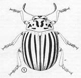 Potato Beetle Colorado Bug Insect Beetles Bugs Illustration Ifas Leptinotarsa Decemlineata Drawing Insects Adult Drawings Ufl Edu Entnemdept Coloring Leaf sketch template
