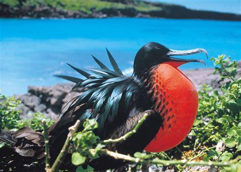 galapagos islands ecuador wildlife amazon travel bird frigate audleytravel