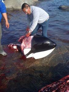 A hunter in Greenland butchers a killer whale, in a photo ...