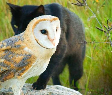 animals cats owls barn owl black cats animal whisperer